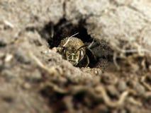 Abeja del minero en su agujero Fotos de archivo libres de regalías
