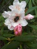 Abeja del polen Imagen de archivo libre de regalías