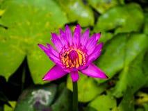 Abeja del primer en flor de loto rosada Foto de archivo
