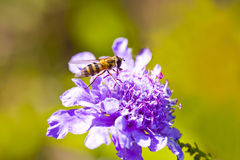 Abeja del primer en la flor Fotos de archivo