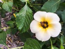 Abeja del primer en la flor blanca Imagen de archivo