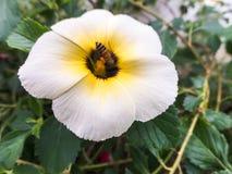 Abeja del primer en la flor blanca Fotos de archivo libres de regalías