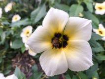 Abeja del primer en la flor blanca Imágenes de archivo libres de regalías