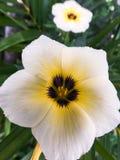 Abeja del primer en la flor blanca Foto de archivo