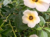 Abeja del primer en la flor blanca Foto de archivo libre de regalías