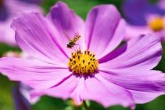 Abeja del primer en la flor del cosmos en el jardín Foto de archivo libre de regalías