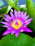 Abeja del primer en Lotus amarillo púrpura Imágenes de archivo libres de regalías