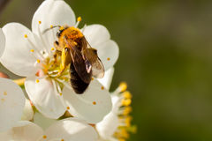 Abeja del primer que recolecta el néctar de las flores de cerezo de la primavera con el lugar para su texto Imagen de archivo libre de regalías