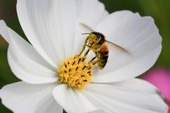 Abeja del primer y flor del cosmos Imagenes de archivo