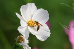 Abeja del primer y flor del cosmos Fotos de archivo libres de regalías