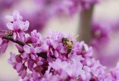 Abeja del resorte en la flor Imagenes de archivo