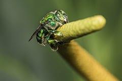 Abeja del SP de Euglossa - cierre verde de la abeja para arriba - SP de Agapostemon Foto macra Fotografía de archivo