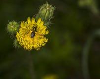 Abeja del sudor de Agapostemon que poliniza una flor Fotos de archivo libres de regalías