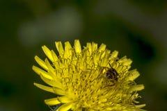 Abeja del sudor de Agapostemon que poliniza una flor Foto de archivo