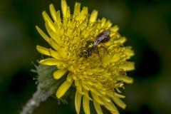 Abeja del sudor de Agapostemon que poliniza una flor Imagen de archivo