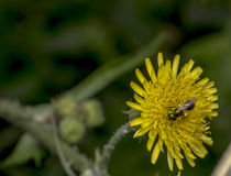 Abeja del sudor de Agapostemon que poliniza una flor Imagenes de archivo