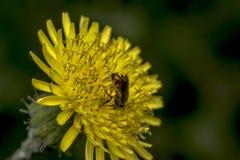Abeja del sudor de Agapostemon que poliniza una flor Imagen de archivo libre de regalías