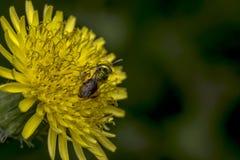 Abeja del sudor de Agapostemon que poliniza una flor Fotografía de archivo libre de regalías