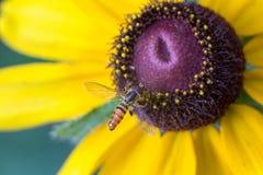 Abeja del sudor en cierre de la macro de la flor para arriba Imagenes de archivo