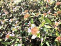 abeja del sudor del verde Imagen de archivo libre de regalías