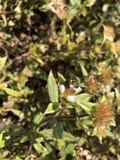 abeja del sudor del verde Fotografía de archivo libre de regalías