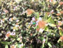 abeja del sudor del verde Imagen de archivo