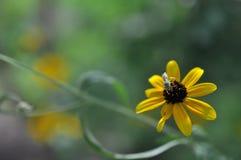 Abeja del sudor del verde en la flor Fotografía de archivo