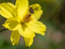 Abeja del vuelo con el polen atado a sus piernas Fotografía de archivo libre de regalías