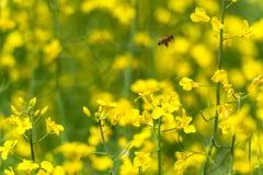 Abeja del vuelo en campo amarillo de la rabina Foto de archivo libre de regalías