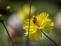 Abeja del vuelo en el top del polen en abeja amarilla Fotografía de archivo libre de regalías