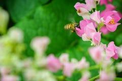 Abeja del vuelo en flor rosada del leptopus de Antigonon Imagen de archivo libre de regalías