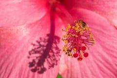 Abeja del vuelo en hibisco rosado Imagen de archivo libre de regalías