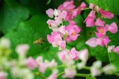 Abeja del vuelo en jardín de flores del leptopus de Antigonon Imagen de archivo