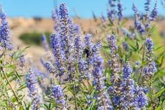 Abeja del vuelo en la flor púrpura del verano Imagen de archivo