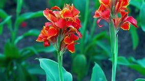 Abeja del vuelo en la planta delicada floreciente de la naturaleza del jardín botánico del flor de la flor amarilla roja colorida almacen de video