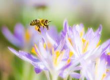 Abeja del vuelo que poliniza una flor púrpura del azafrán Foto de archivo