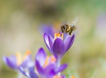 Abeja del vuelo que poliniza una flor púrpura del azafrán Imagen de archivo