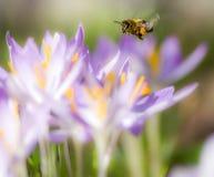 Abeja del vuelo que poliniza una flor púrpura del azafrán Fotos de archivo libres de regalías