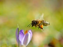Abeja del vuelo que poliniza una flor p?rpura del azafr?n imagen de archivo