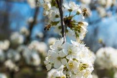Abeja del vuelo que recoge el polen en cerezo Fotos de archivo