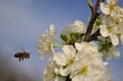 Abeja del vuelo que recoge el polen en ciruelo Fotografía de archivo libre de regalías