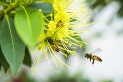 Abeja del vuelo que recoge el polen en la flor amarilla Fotos de archivo libres de regalías