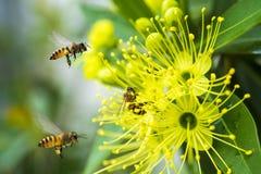 Abeja del vuelo que recoge el polen en la flor amarilla Imagen de archivo