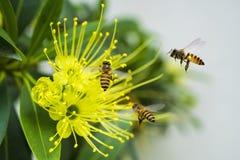 Abeja del vuelo que recoge el polen en la flor amarilla Imagen de archivo libre de regalías