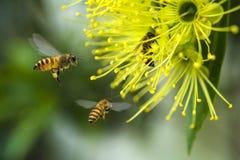 Abeja del vuelo que recoge el polen en la flor amarilla Imagenes de archivo