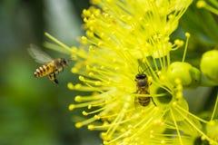 Abeja del vuelo que recoge el polen en la flor amarilla Fotografía de archivo libre de regalías