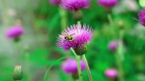 Abeja del vuelo que se sienta en planta delicada floreciente minúscula de la naturaleza del flor blando de la flor de la lila púr almacen de metraje de vídeo