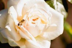 Abeja del vuelo a Rose en la floración Fotografía de archivo