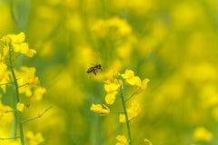Abeja del vuelo sobre el campo de la rabina Fondo amarillo borroso Fotos de archivo