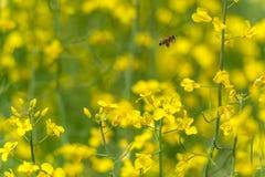 Abeja del vuelo sobre el campo de la rabina Fondo amarillo borroso Fotografía de archivo libre de regalías
